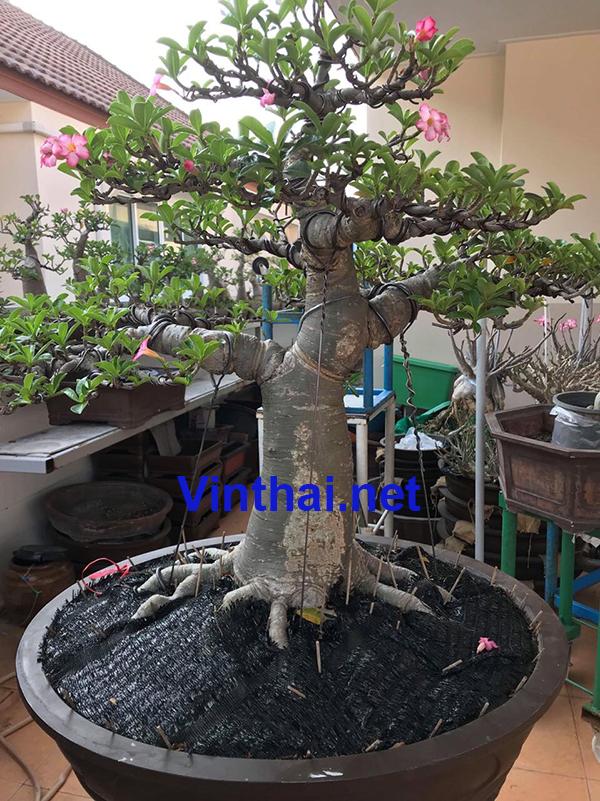 Order hoa sứ Thái Lan