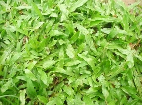 hạt giống cỏ lá gừng Thái Lan